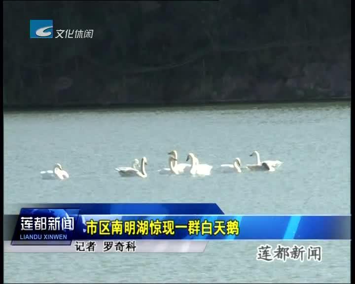 市区南明湖惊现一群白天鹅