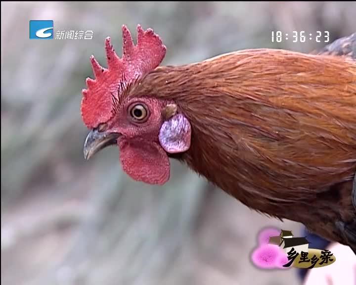 """【乡里乡亲】味美价高的""""飞鸡"""""""