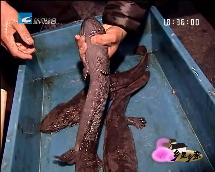 【乡里乡亲】人工养殖娃娃鱼