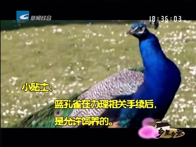 """【乡里乡亲】""""三心"""" 养孔雀"""