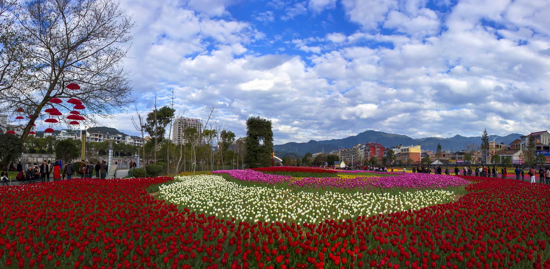 春天到 云和城里郁金香花开如海