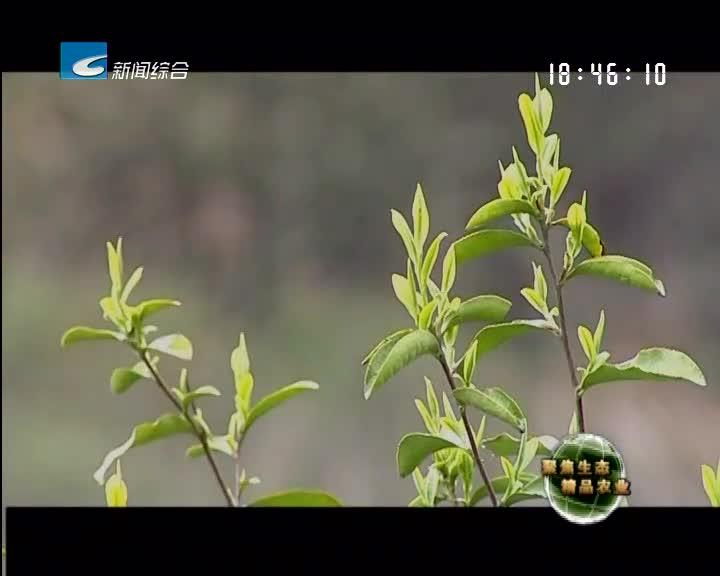 【聚焦生态精品农业】不可貌相的朱子阁红茶