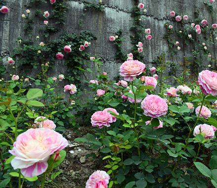 云和赤石村千余种玫瑰等你邂逅