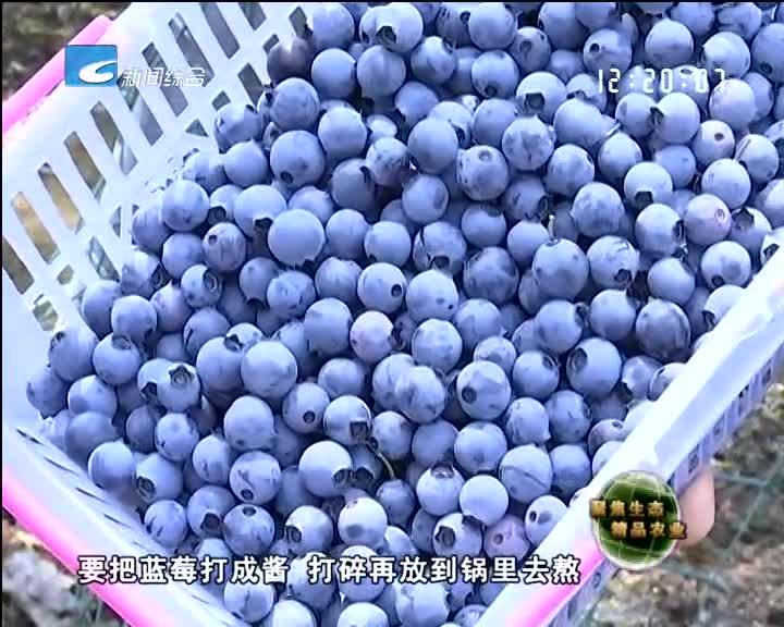 【聚焦生态精品农业】蓝莓采摘正当时