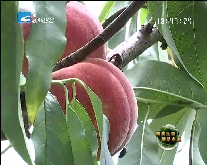 【聚焦生态精品农业】科技种桃分外甜