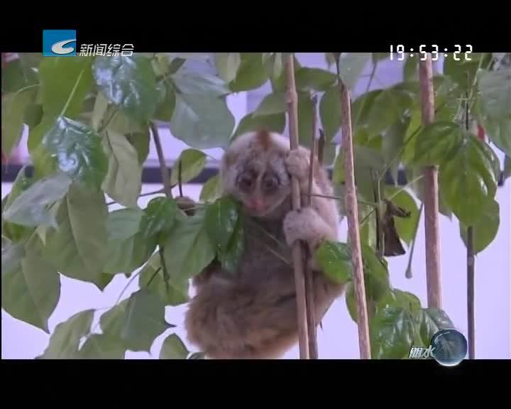 景宁好心市民送交国家一级保护动物蜂猴