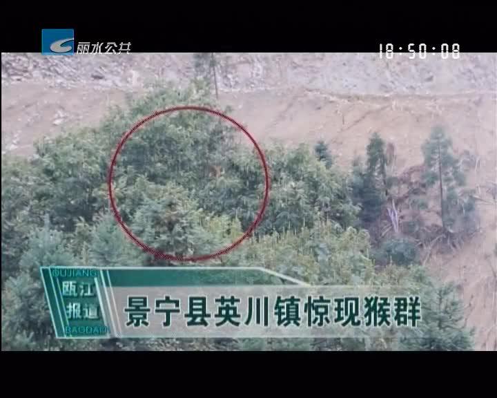 景宁县英川镇惊现猴群