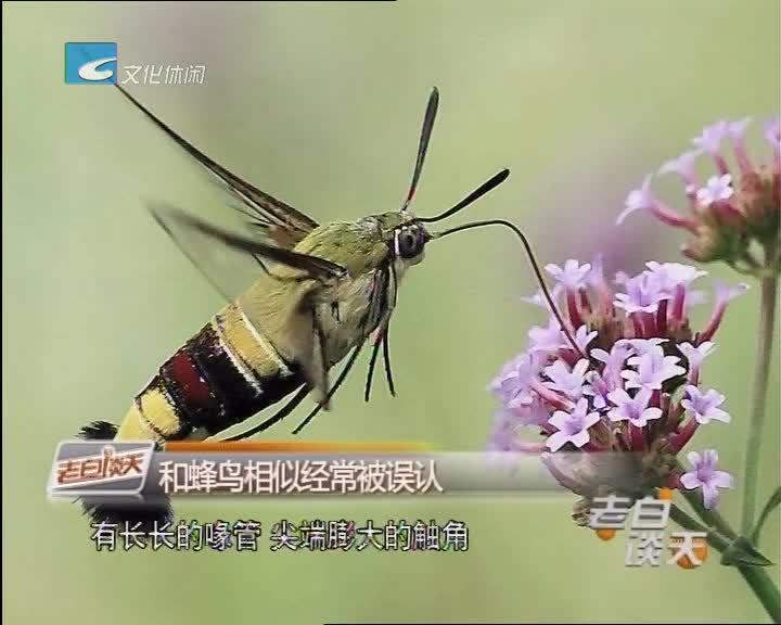 老白看真假:蜂鸟现身丽水?
