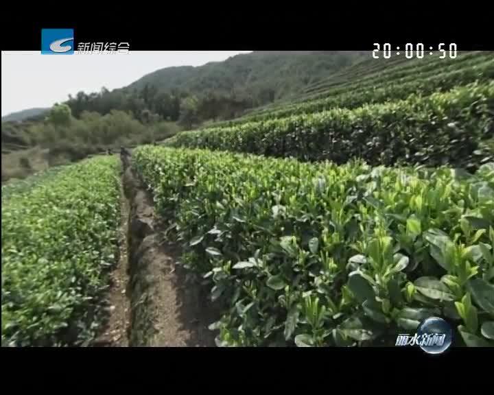 松阳获2017年度中国十大生态产茶县称号