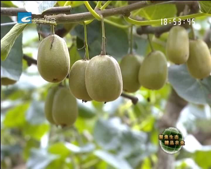 【聚焦生态精品农业】猕猴桃熟了