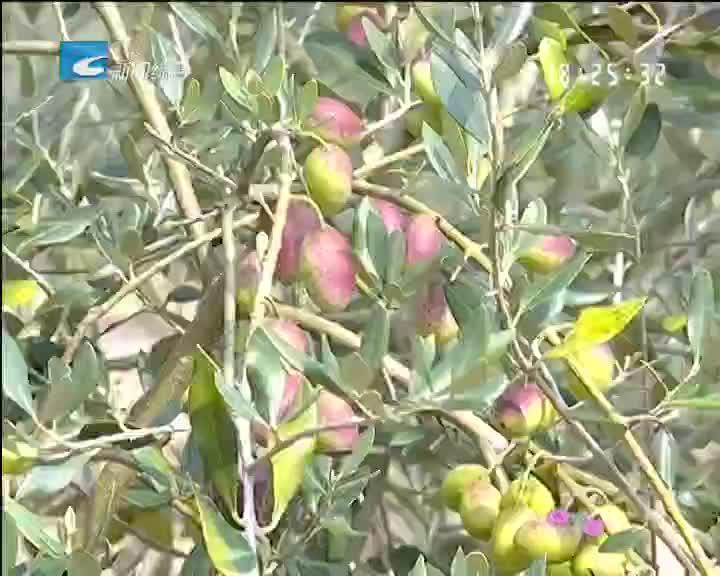 【乡里乡亲】松阳橄榄油开榨了
