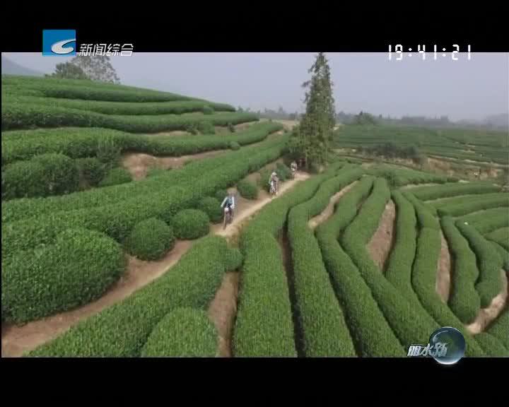 松阳:牢记书记嘱托 产业融合振兴茶产业