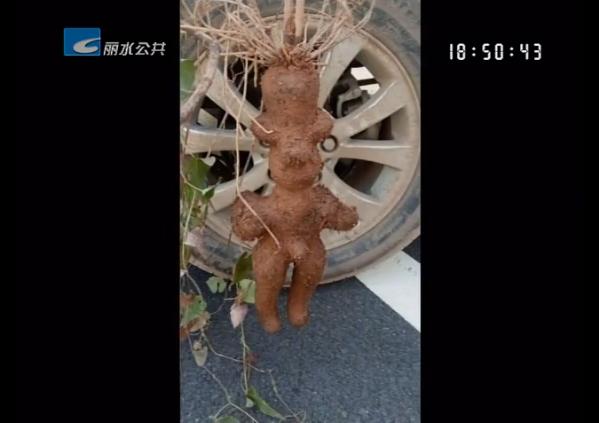 """工地挖出""""人形何首乌""""?药师:是人工种植的"""