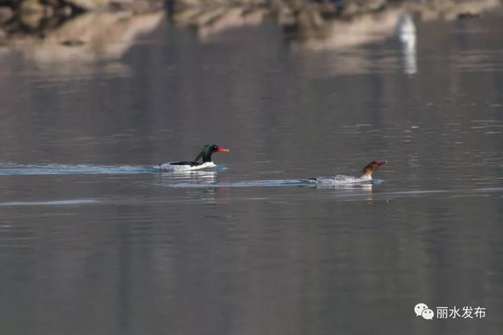 """""""鸟中大熊猫""""又来丽水九龙国家湿地过冬了"""