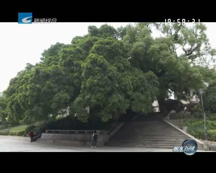 """<寻找""""丽水之最"""">系列报道之二:中国纬度最高的温溪古榕群"""