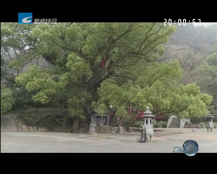 """寻找""""丽水之最"""":浙江第一樟——路湾大樟树"""