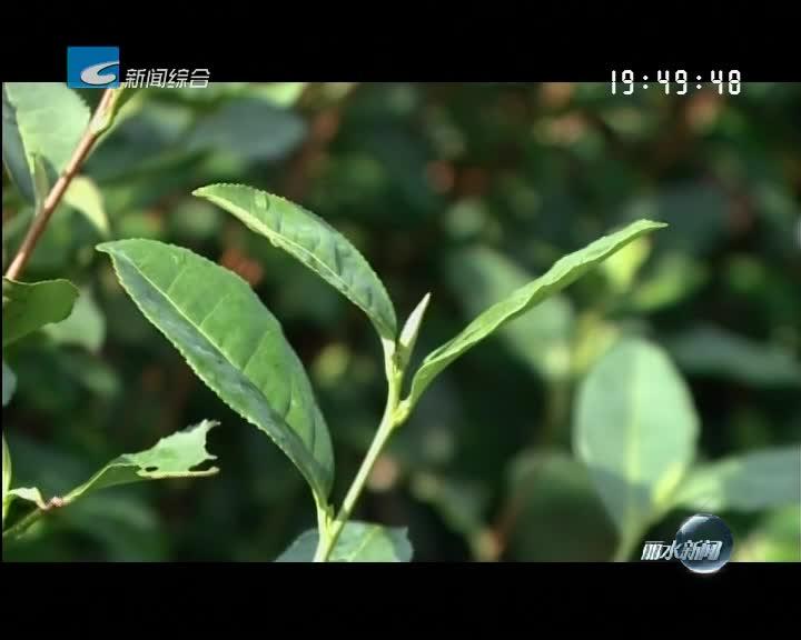 松阳:气温回暖春茶上市 单天交易额1700万元