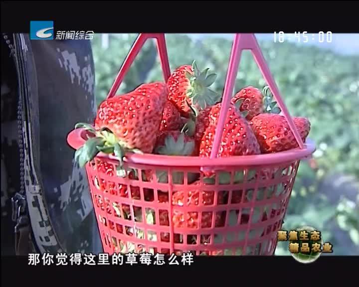 【聚焦生态精品农业】冬天里的草莓