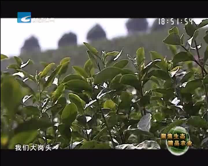 【聚焦生态精品农业】浙江最早的春茶开采了