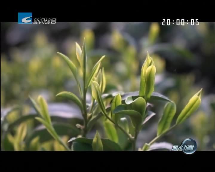 百姓故事:新生代茶人为松阳茶叶赋值
