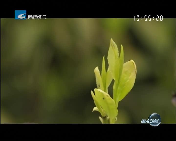 《走近边界 寻访乡村之美》系列报道(八):片片黄金叶 两地论茶经