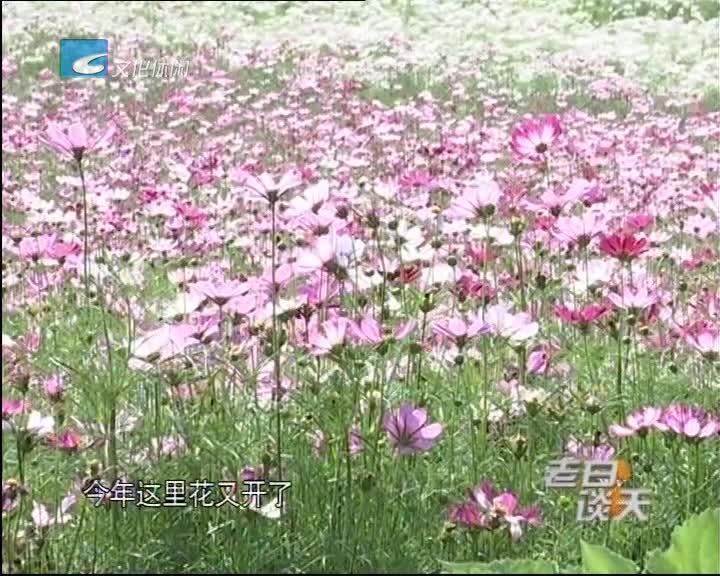 市区下水南百亩花海盛开了