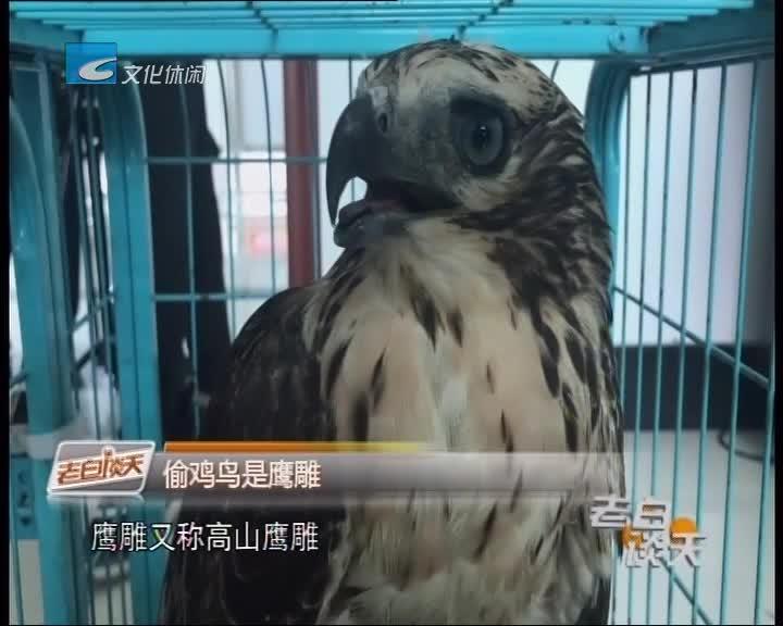 有趣!国家二级保护动物鹰雕偷鸡被网后放生