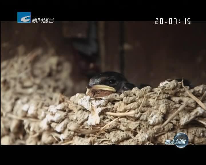 松阳:老屋暂缓拆迁 只为四只雏燕七枚蛋