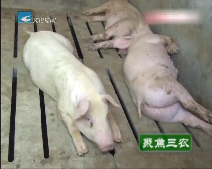 """【聚焦三农】一人养猪7000头""""机器换人""""挑战可能"""