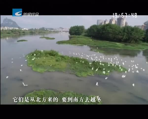 松阳:好生态 引得数千只白鹭成群栖息松阴溪