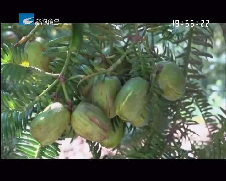 """我的丰收我的节:遂昌:""""子孙树""""变成""""摇钱树"""" 一棵榧树收入上千元"""
