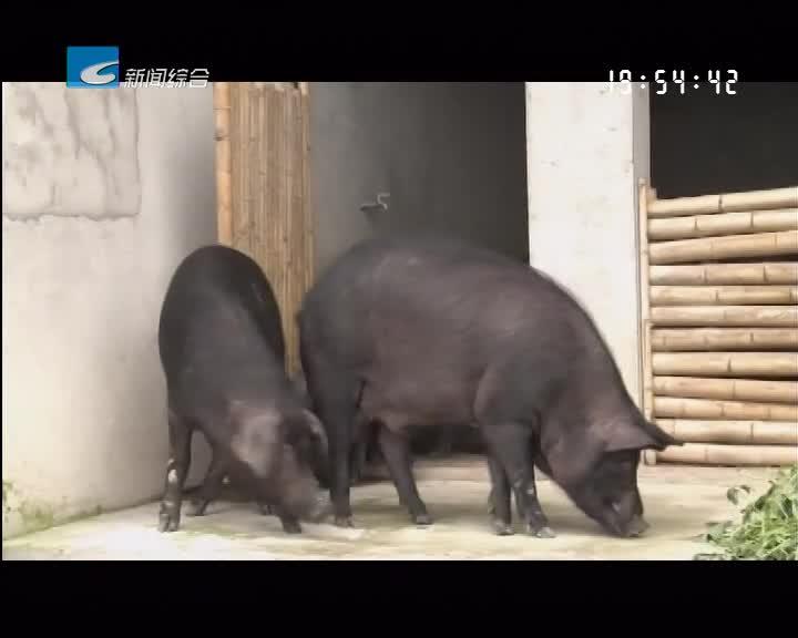 《振兴路上的乡村故事》:私人订制 生态养猪 深山猪倌年入百万