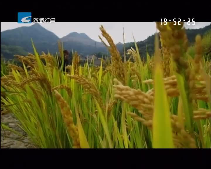 特色稻米丽水香:稻鱼米:稻田和彩鲤相濡的人间烟火
