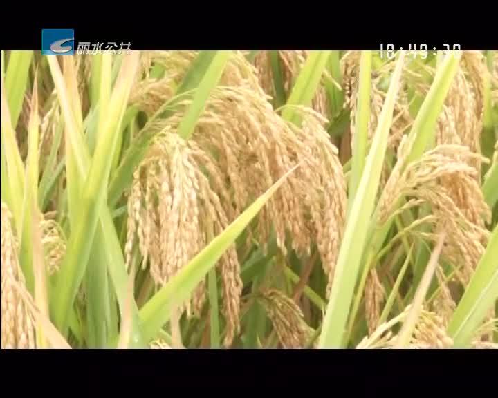 龙泉刷新丽水水稻单产量最高亩产历史记录