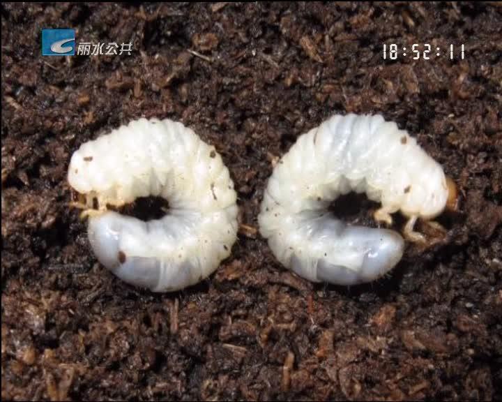 小尹热线:田里闹地蚕 番薯年年被祸害