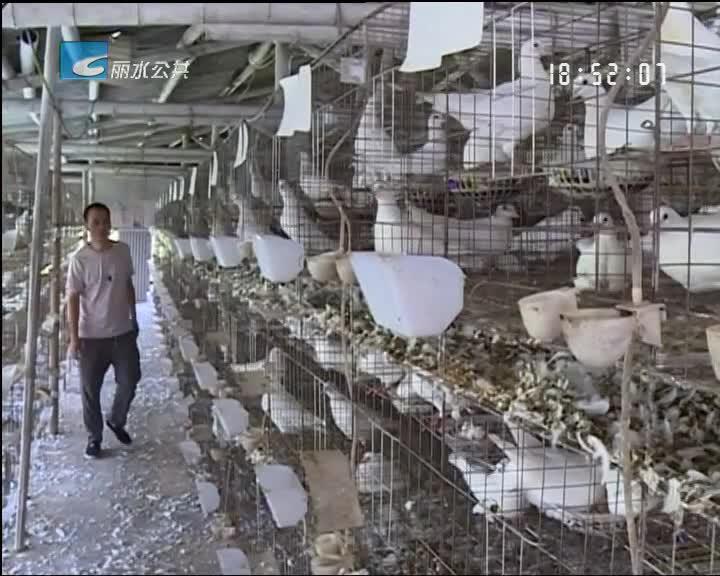[小尹热线]县级示范家庭农场属违建 万羽鸽子无处去