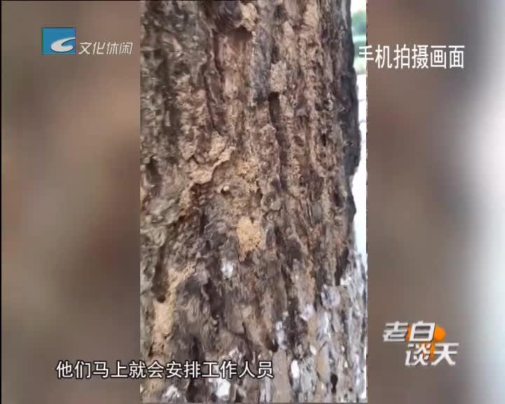 行道树被白蚁祸害 园林部门马上救治