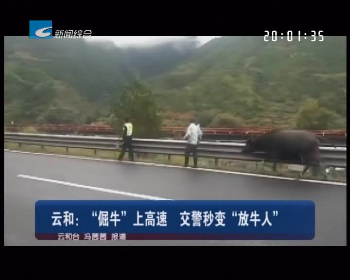 """云和:""""倔牛""""上高速 交警秒变""""放牛人"""""""