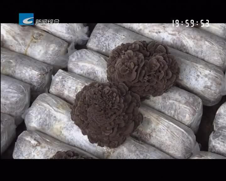 """庆元:400吨灰树花将登上""""日本餐桌"""""""