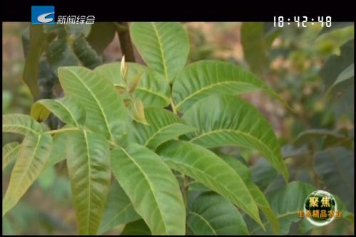 """【聚焦生态精品农业】青钱柳:能摇出健康的""""摇钱树"""""""