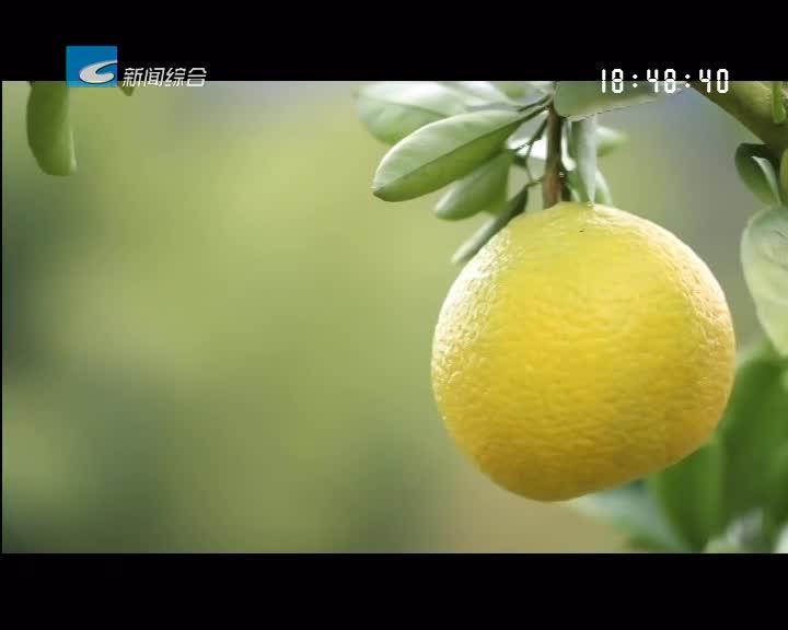 【寻味】庆元甜桔柚:冬季里的爆款水果