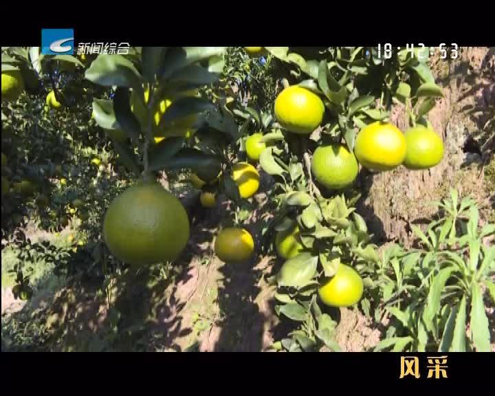 【风采】冬季的农产品——甜桔柚