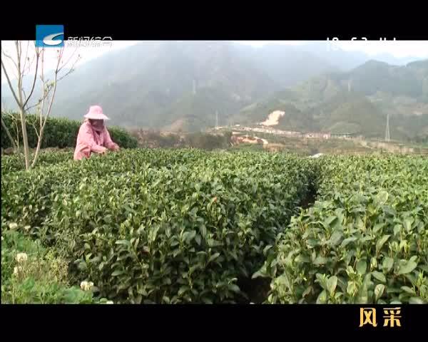 【风采】松阳:茶产业迈开接轨国际的步伐