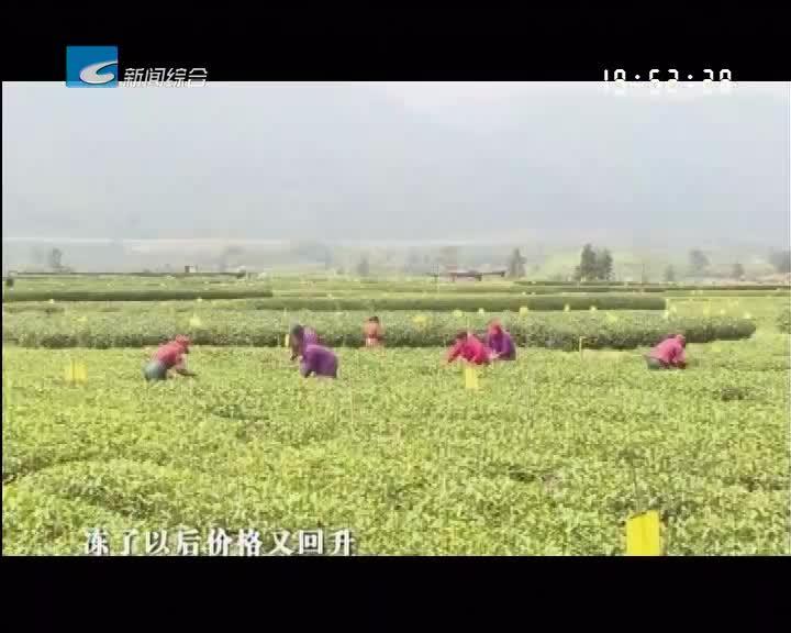 松阳:春茶进入全面采摘期 价格稳定品质佳