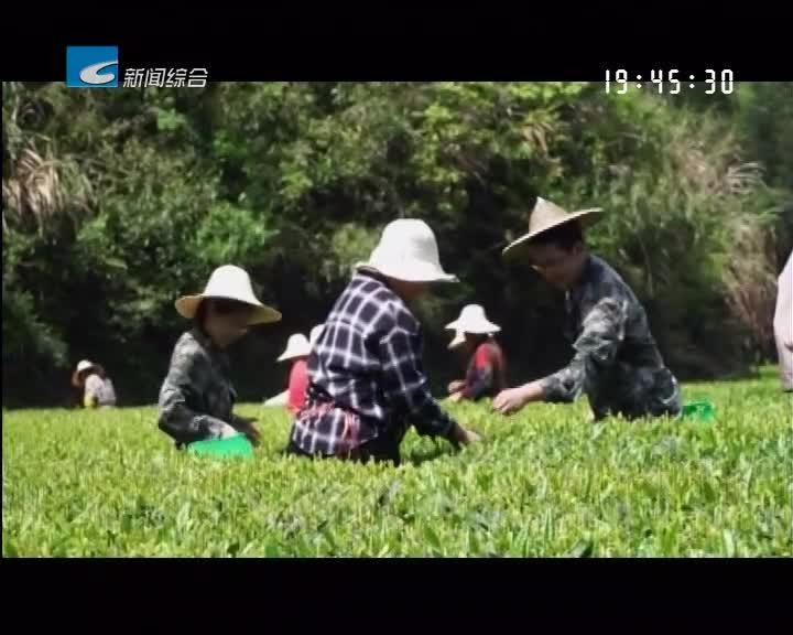 """服务企业 服务群众 服务基层:遂昌:专家""""结亲"""" 助力茶产业发展"""