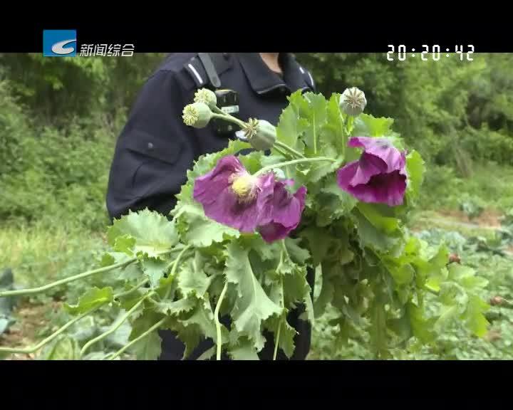 松阳、云和警方查处多起非法种植罂粟案件