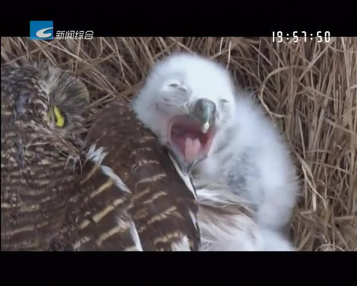 庆元:猫头鹰筑巢变电站 孵出四只幼崽引关注