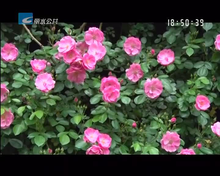 """【五一美景】云和赤石玫瑰竞相开放 """"玫瑰之约""""邀您来"""