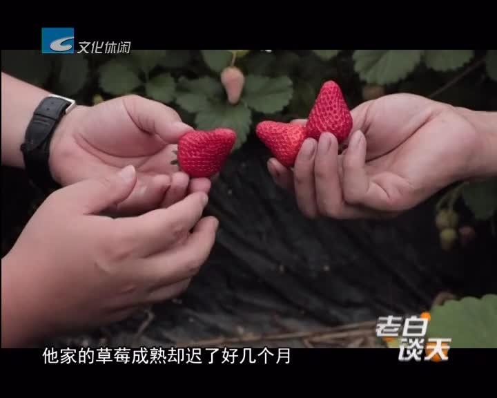 迟来的草莓盛产 愁坏了莓农
