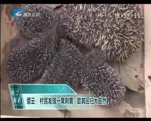 缙云:村民发现一窝刺猬 助其回归大自然